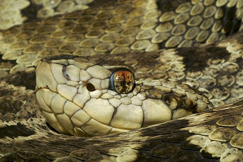 Facts about the Fer De Lance Snake