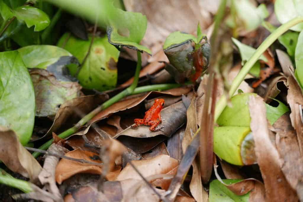 Red Poison Dart Frog Facts
