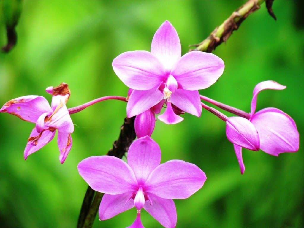 National Flower of Costa Rica